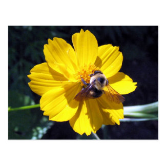 Cosmos Attracts Bumblebee Postcard
