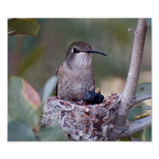 Costa Hummingbird and Babes Poster