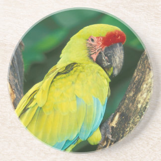 Costa Rica, Ara Ambigua, Great Green Macaw. Drink Coaster