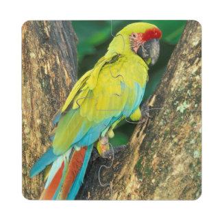 Costa Rica, Ara Ambigua, Great Green Macaw. Puzzle Coaster