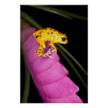 Costa Rica. Close-up of poison dart frog on Print
