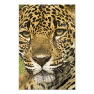 Costa Rica. Jaguar Panthera onca) portrait Photo Art