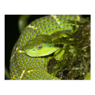 Costa Rica. Striped Palm Viper Bothriechis Postcard