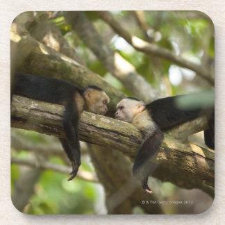 Costa Rica, Two monkeys resting on tree, lying Coasters