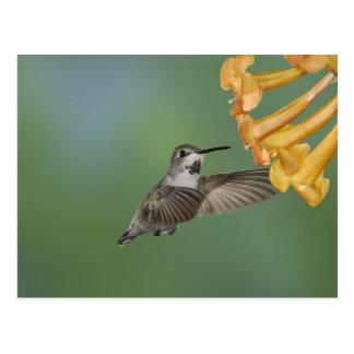 Costa's Hummingbird, Calypte costae, young Postcard