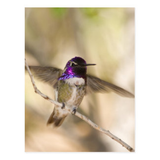 Costa's Hummingbird Postcard