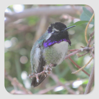 Costa's Hummingbird Square Sticker