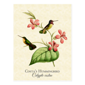 Costa's Hummingbird Vintage Art Postcard