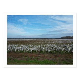Cotton Field Florida Postcard