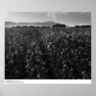 Cotton field, into sun near El Centro, 1966 Poster