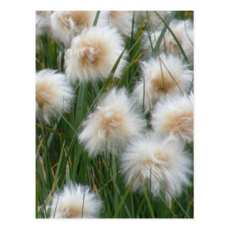 Cotton Grass (Eriophorum russeolum) Postcard
