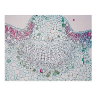 Cotton leaf under the microscope postcard