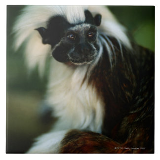 Cotton top tamarin (Saguinus oedipus) sitting, Tile