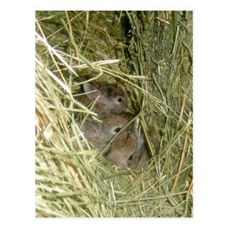 Cottontail Bunnies Postcard