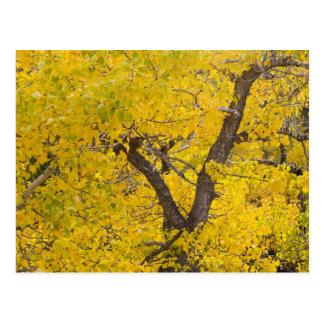 Cottonwood tree in peak fall colors in Glacier Postcard