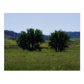 Cottonwood Trees Postcard