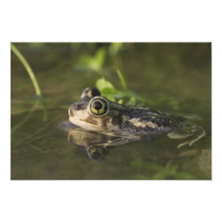 Couch's Spadefoot, Scaphiopus couchii, adult, 2 Photo