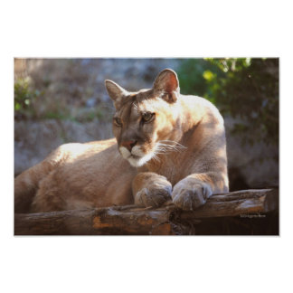 Cougar 1 poster
