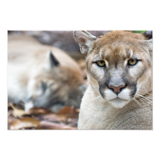 Cougar, mountain lion, Florida panther, Puma Photo Art