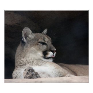 Cougar Mountain Lion Portrait Close-Up Poster