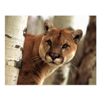 Cougar Photograph Postcard