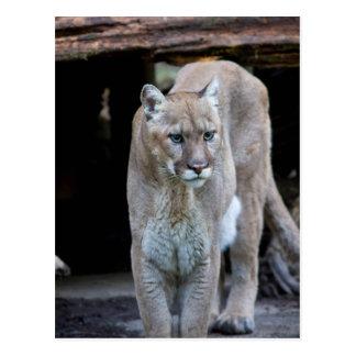 Cougar Postcard