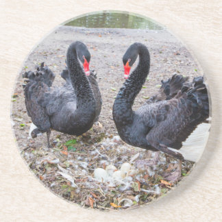 Couple black swans with eggs in nest drink coaster