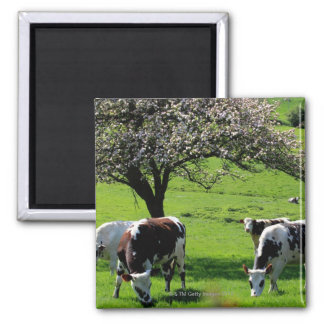 Cow among blooming apple trees in Normandy Magnet
