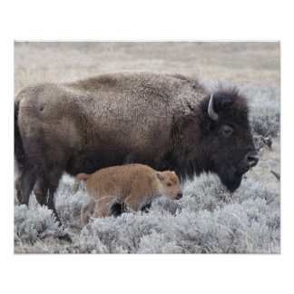 Cow and Calf Bison, Yellowstone 2 Poster