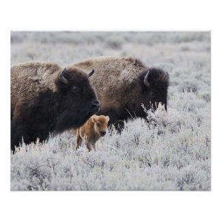Cow and Calf Bison, Yellowstone Poster