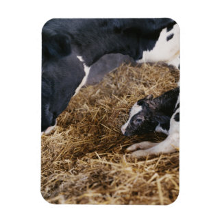 Cow and Calf in Hay Rectangular Photo Magnet