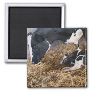 Cow and Calf in Hay Square Magnet