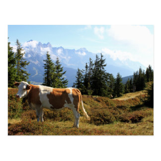 Cow in the Austrian Alps Postcard