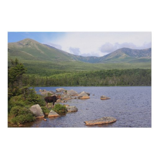 Cow Moose and Mount Katahdin from Sandy Stream Posters