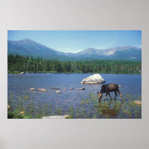 Cow Moose and Mount Katahdin Print