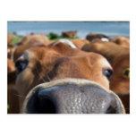 Cow Nose Closeup Post Card