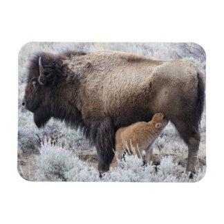 Cow Nursing Bison Calf, Yellowstone 2 Rectangular Photo Magnet