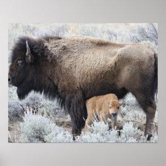 Cow Nursing Bison Calf, Yellowstone 3 Poster