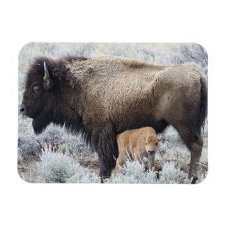 Cow Nursing Bison Calf, Yellowstone 3 Rectangular Photo Magnet