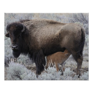 Cow Nursing Bison Calf, Yellowstone Poster