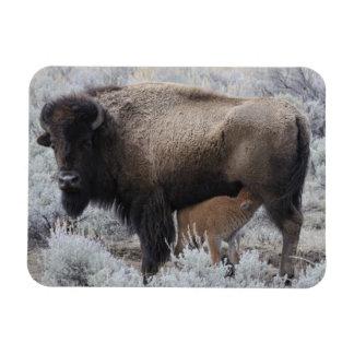 Cow Nursing Bison Calf, Yellowstone Rectangular Photo Magnet
