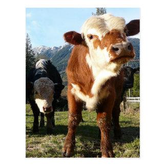 Cow Posse Postcard