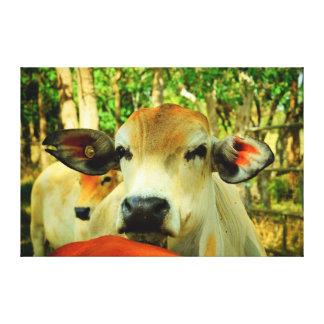COW RURAL QUEENSLAND AUSTRALIA CANVAS PRINT