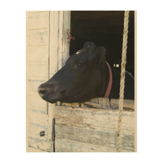 Cow through old barn door wood canvas
