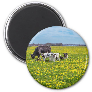 Cow with calves grazing in meadow with dandelions 2 inch round magnet