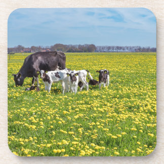 Cow with calves grazing in meadow with dandelions coaster