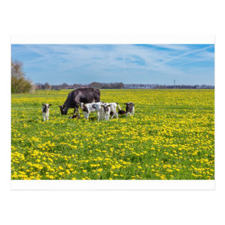 Cow with calves grazing in meadow with dandelions postcard