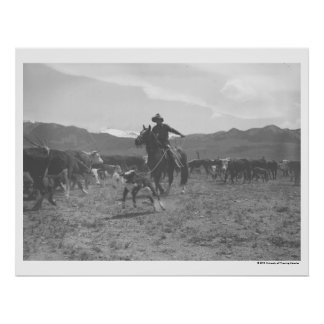 Cowboy roping a calf for spring branding. poster