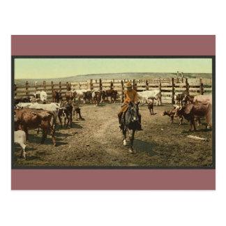 Cowboys et vaches carte postale
