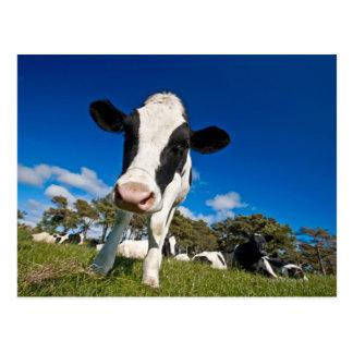 Cows feeding on pasture 2 postcard